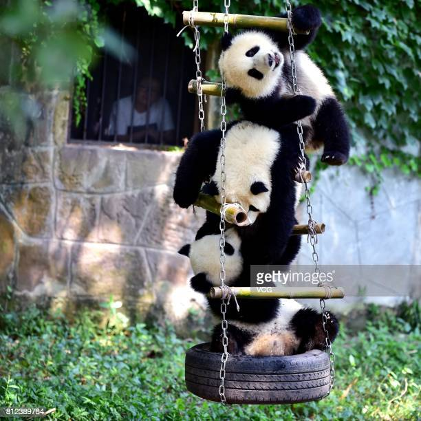 Another baby panda joins twin giant pandas brother Yu Bao and younger sister Yu Bei during the twins' 1yearold birthday party at Chongqing Zoo on...