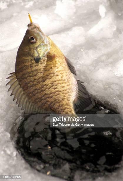 another BLUEGILL EXITS through an ice fishing hole in the ICE