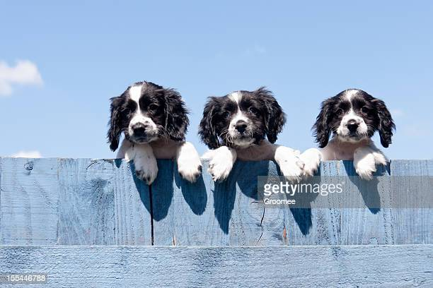 another fine mess we have got into! - springer spaniel stock photos and pictures