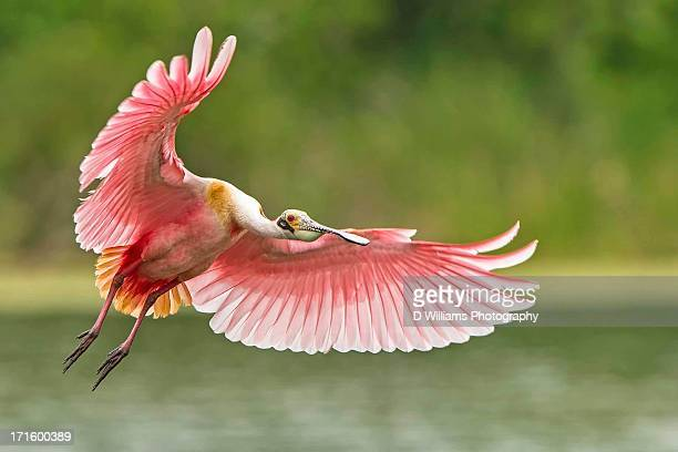 another spoonbill in flight - tropical bird stock pictures, royalty-free photos & images