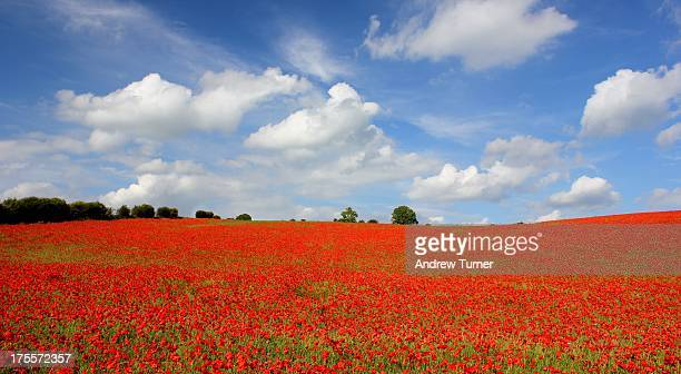CONTENT] Another take of the poppy field I tracked down in Berkshire in June I elected for a panoramic crop to emphasise the density and scale of the...