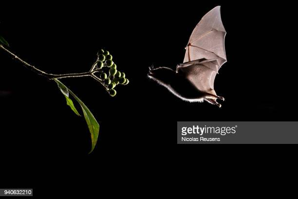 anoura geoffroyi - bat animal stock pictures, royalty-free photos & images