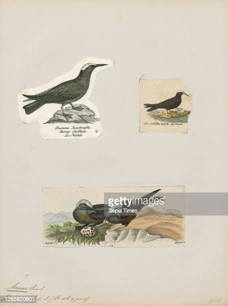 Anous stolidus. Print. The brown noddy or common noddy is a seabird in the family Laridae. The largest of the noddies. It can be told from the...