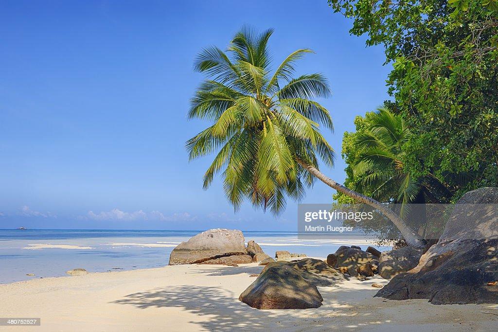 Anse A La Mouche beach with palm tree. : Stock Photo