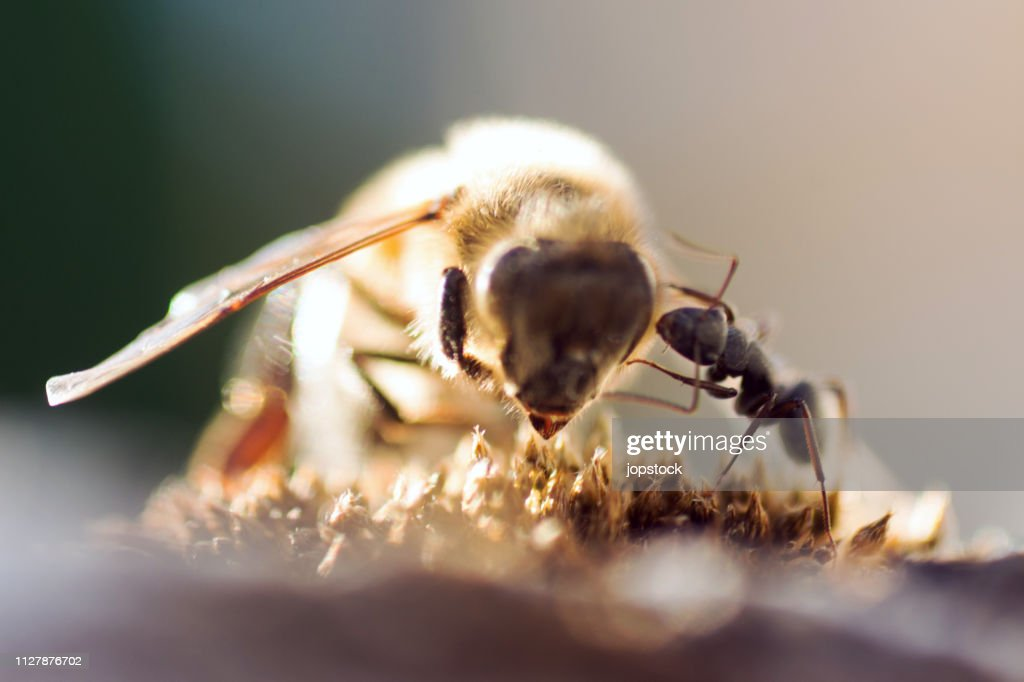 Ant attacking a bee : Stock Photo