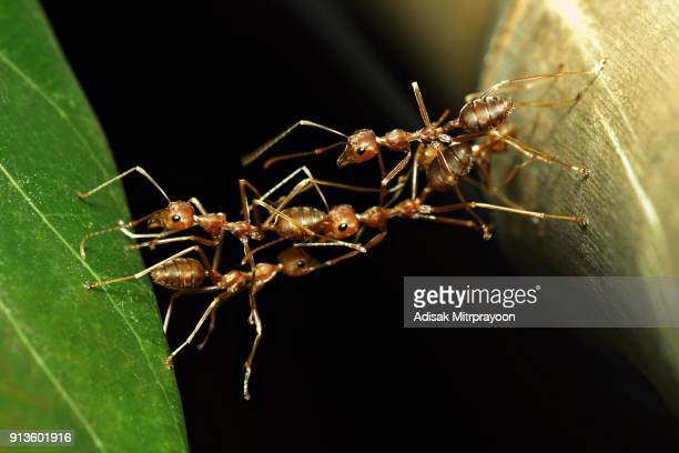 ant bridge (ants crossing to other side in harmony) - ants stock pictures, royalty-free photos & images