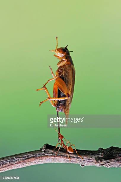 Ant carrying an insect, Indonesia