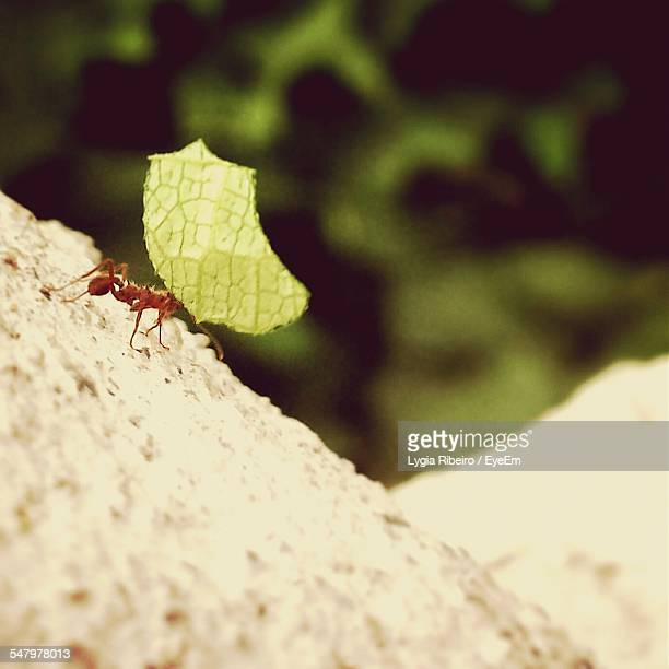 Ant Carrying Leaf On Rock In Forest