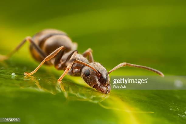 Ant drinking water on leaf