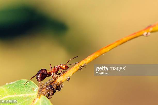Ant farming aphids on leaf