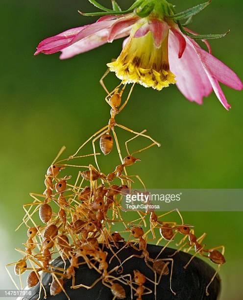 Ant gang