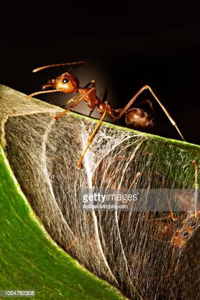 Ant guarding transparent nest (black background)