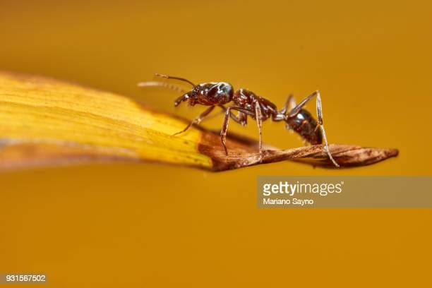 Ant in dried leaf