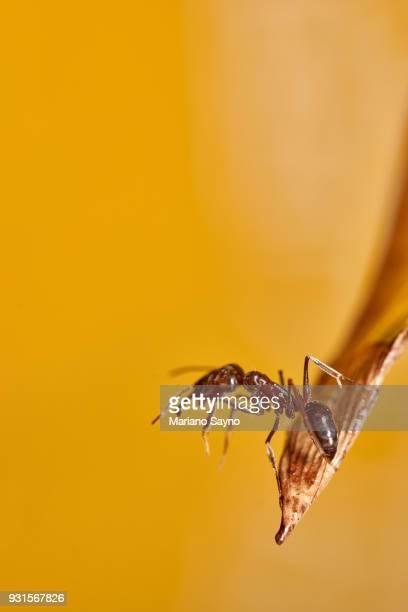 Ant in dried leaf