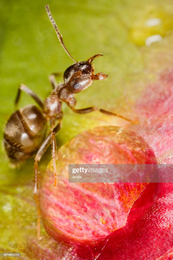 Ant in front of a dew drop, on a peony flower. Ant in a defensive attitude.