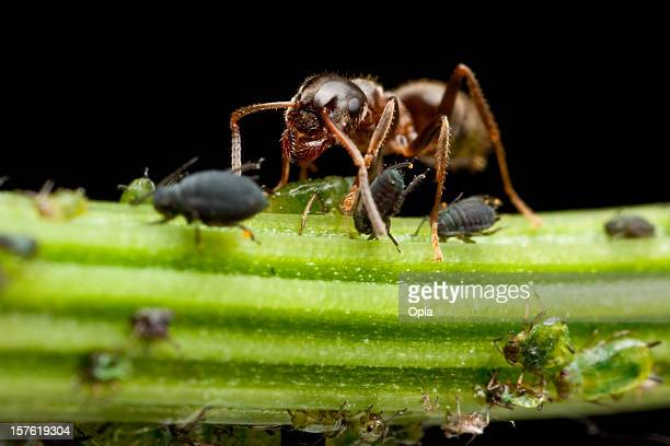 ant milking lice - louse stock pictures, royalty-free photos & images