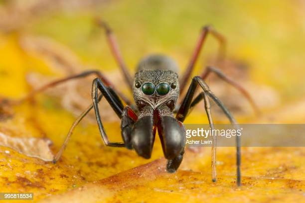 A ant mimicking jumping spider.