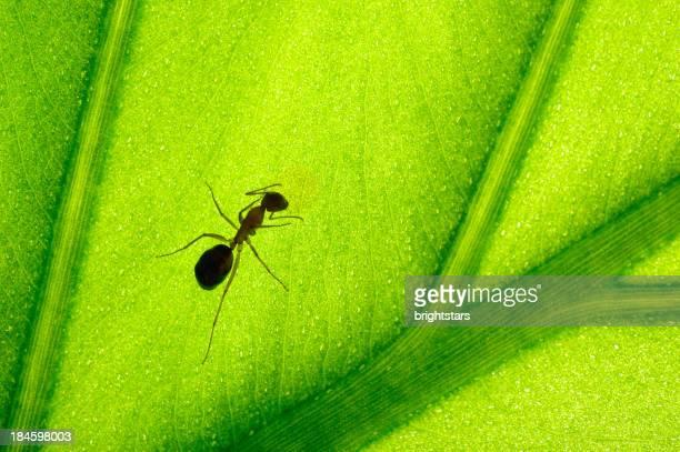 Ameis'auf ein green leaf