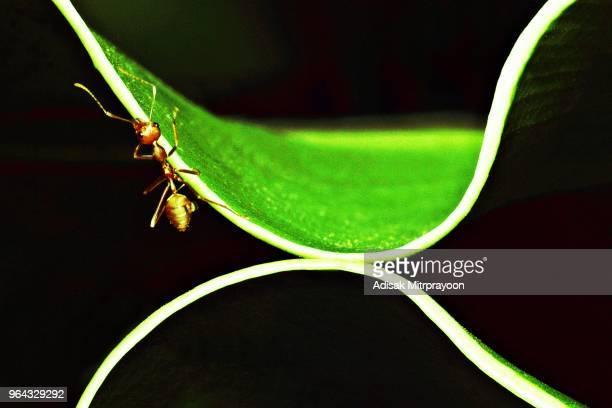 Ant on green curve fern leaf (bird's nest fern)
