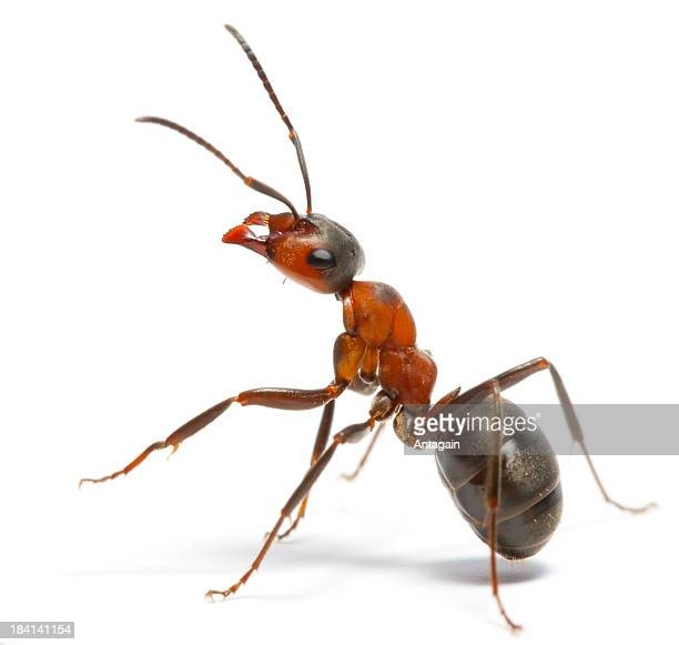 ant - ants stock pictures, royalty-free photos & images