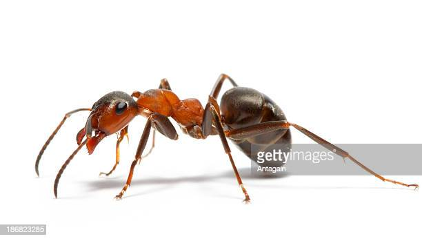 ant - ant stock photos and pictures