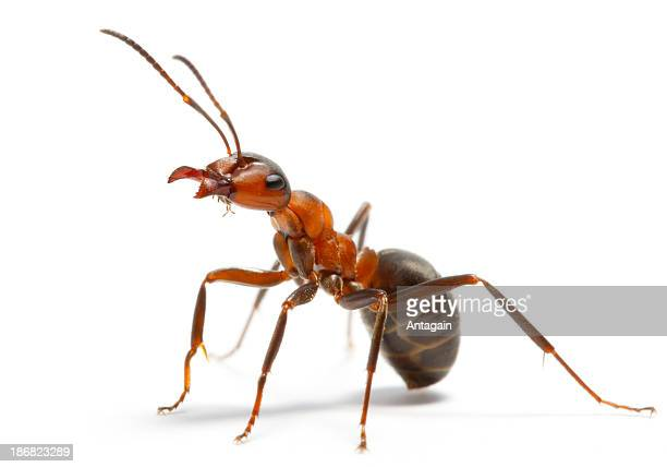 ant - insect stock pictures, royalty-free photos & images