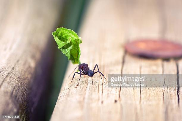 Ant with leafe