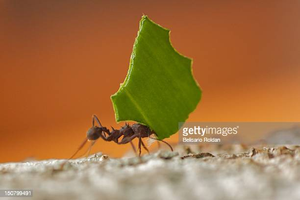 ant with leaves - ant stock photos and pictures