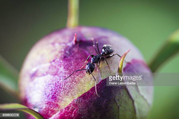 Ant Working On A Peony Flower Bud - Soft Focus