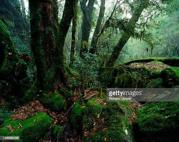 Antarctic Beech forest at Weeping in the New England National Park.