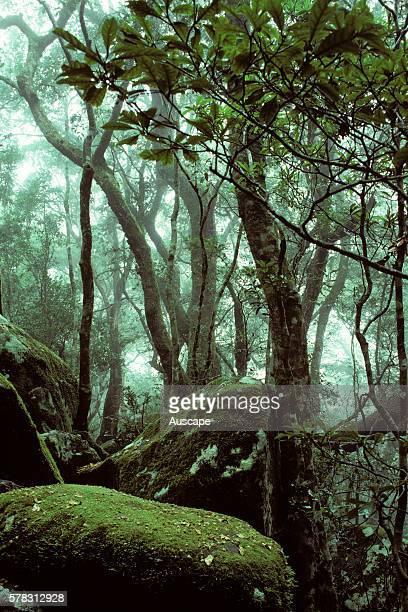 Antarctic beech trees Nothofagus moorei in mist along the Tullawallal Circuit walking track a cool subtropical rainforest habitat Binna Burra Section...