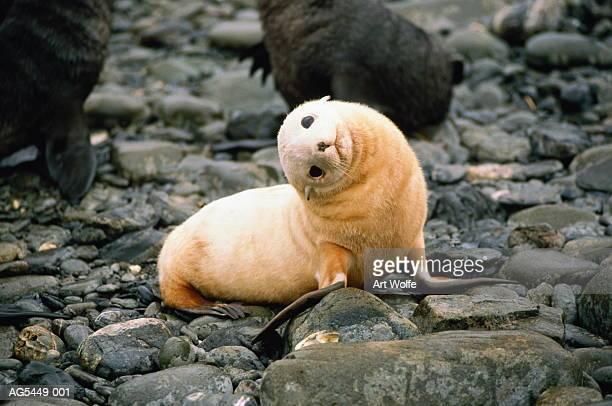 Antarctic fur seal (Arctocephalus gazella), Antarctica