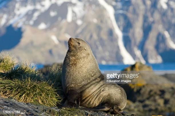 Antarctic Fur Seal, Arctocephalus gazella, beachmaster, South Georgia.