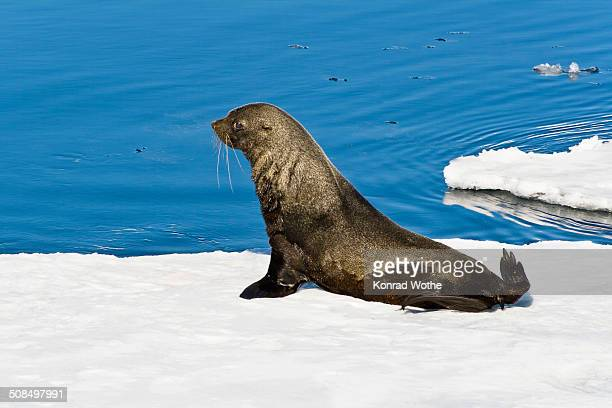 Antarctic Fur Seal -Arctocephalus gazella- on an icefloe, Antarctica
