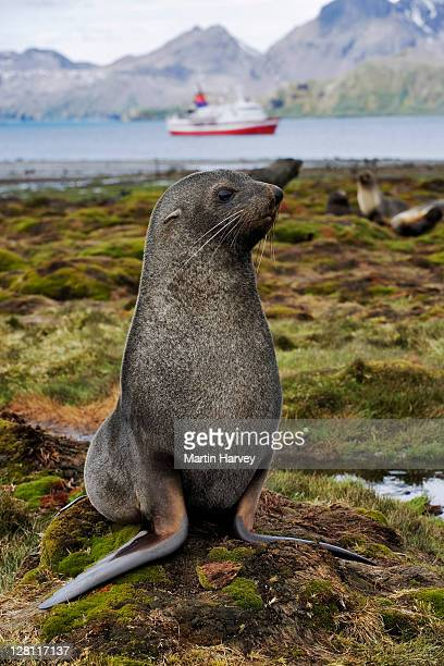 antarctic fur seal, arctocephalus gazella, with g.a.p adventures ms explorer cruise ship in background. south georgia island. dist. islands south of antarctic convergence and north of 65â°s. (pr: property released) - hairy p stock pictures, royalty-free photos & images