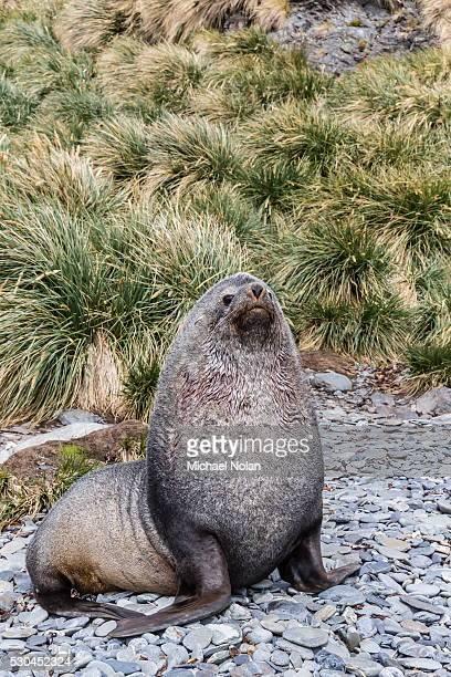 Antarctic fur seal (Arctocephalus gazella) male defending territory, Stromness Harbor, South Georgia, UK Overseas Protectorate, Polar Regions