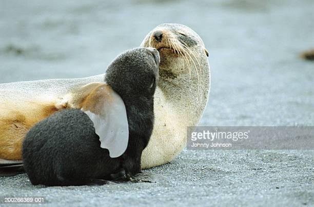antarctic fur seal (arctocephalus gazella) mother holding pup - animal stock pictures, royalty-free photos & images