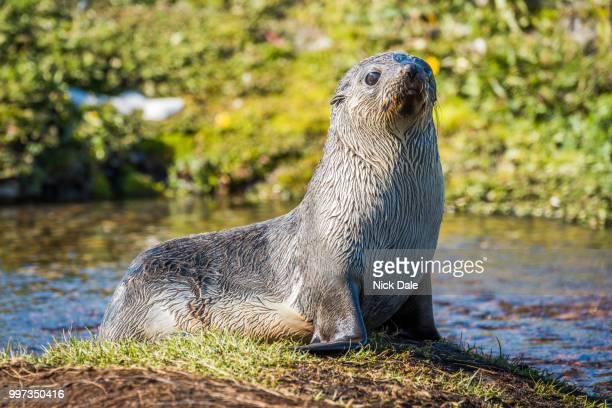 Antarctic fur seal on island in pond