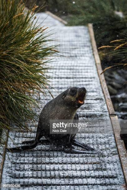 Antarctic fur seal on walkway in snow