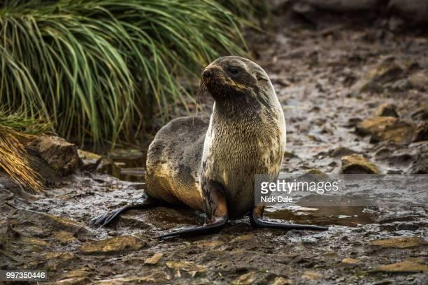 Antarctic fur seal on wet rocky riverbed