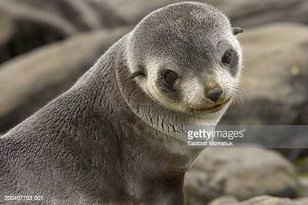 Antarctic fur seal (Arctocephalus gazella) pup on beach