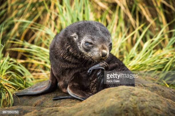 antarctic fur seal pup scratching its chin - giant otter stock pictures, royalty-free photos & images