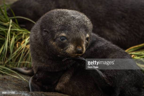 Antarctic fur seal pup with flipper raised