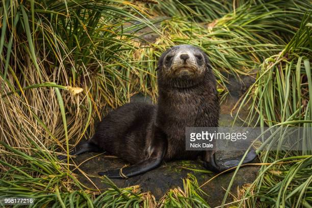 Antarctic fur seal pup with half-closed eyes