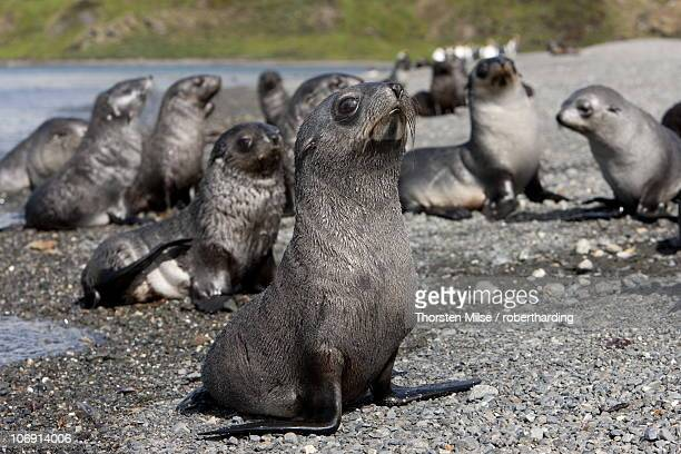 antarctic fur seal pups (arctocephalus gazella), husvik island, antarctic, polar regions - seal pup stock pictures, royalty-free photos & images
