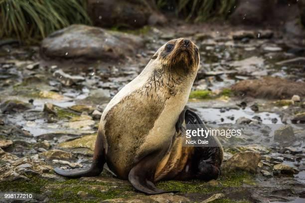 Antarctic fur seal scratching itself in snow
