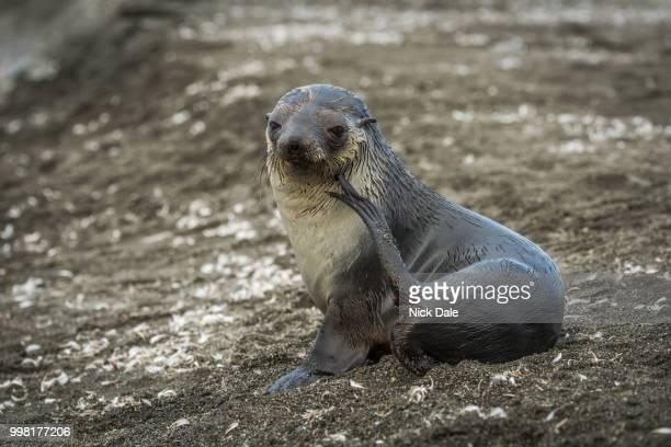 Antarctic fur seal scratching itself on beach