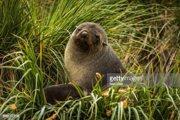 Antarctic fur seal sitting in grass tussocks