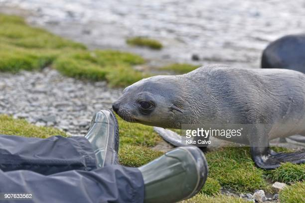 Antarctic fur seal Stromness Bay in South Georgia Antarctic fur seal baby interacting with a photographer Stromness Bay in South Georgia