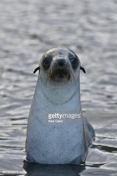 Antarctic fur seal Stromness Bay in South Georgia